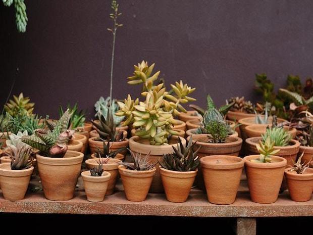 rachel-succulents