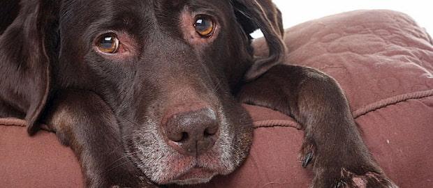 dog going trough pain